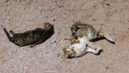 שוב: הריגת חתולים בחתוליה העירונית