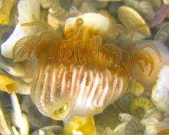 אהבה במפרץ אילת: התולעת מצילה את האלמוג ממוות