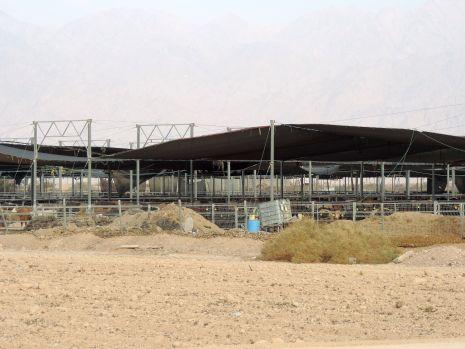 משבר העגלים: המדינה חויבה להקים תחנת הסגר חדשה בערבה