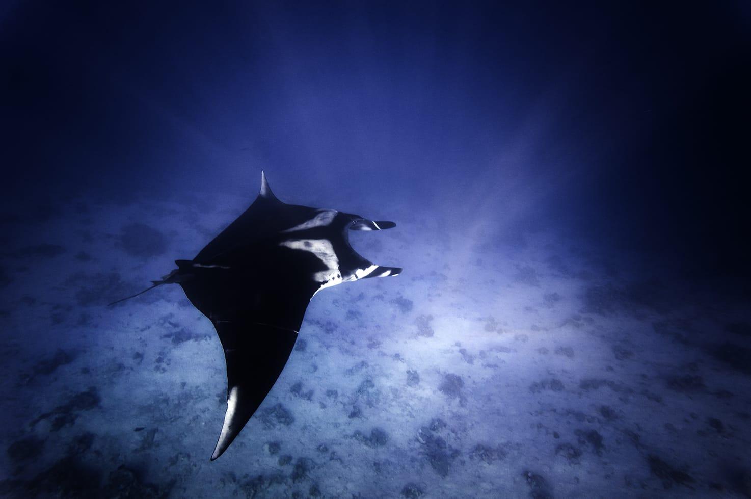 תצפית נדירה בשמורת הטבע אלמוגים במפרץ אילת - לפתע זהיתי מנטה במים