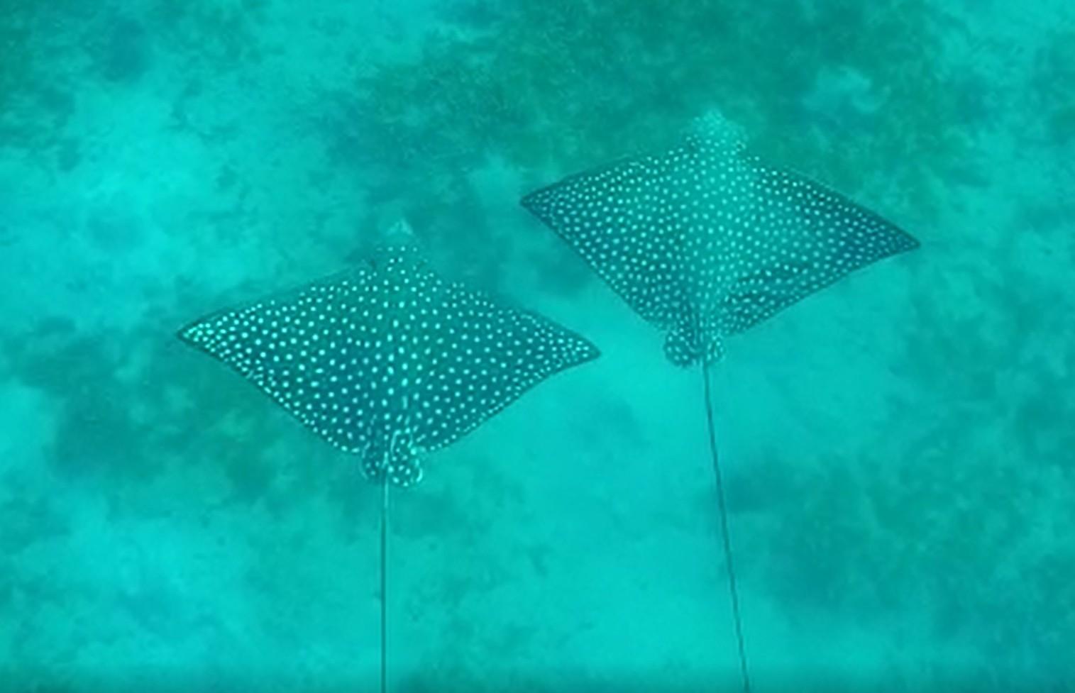 תצפית מדהימה בצלילה במפרץ אילת בצמד טריגונים נקודים