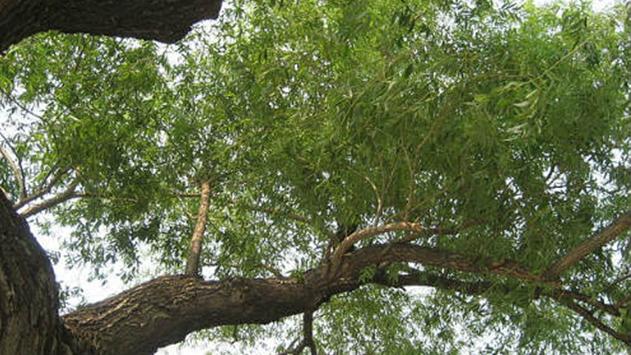 חשבתם לכרות את העץ בחצר הפרטית? לא בטוח שמותר לכם