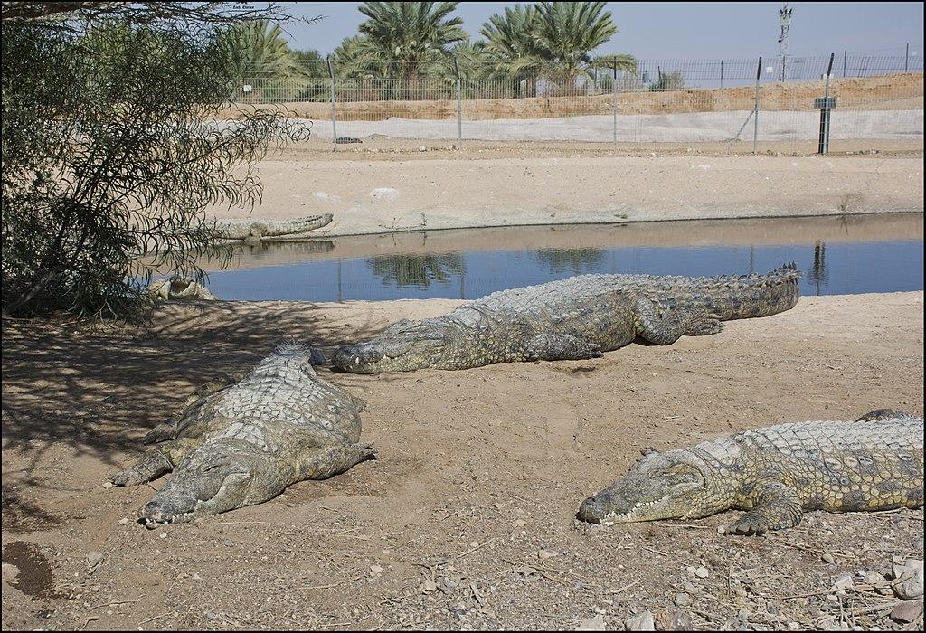 קרוקולוקו- חוות התנינים בערבה