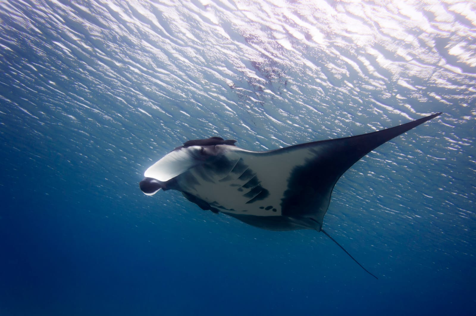 צפו: מנטה ענקית ונדירה במפרץ אילת