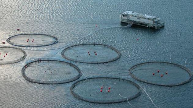 המגיפה שקוטלת במפרץ – בגלל כלובי הדגים