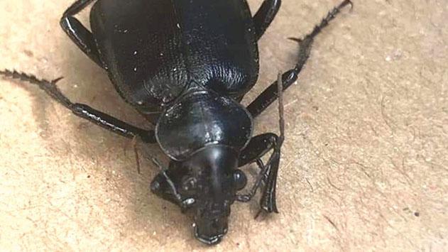 מכת החיפושיות תחלוף מעצמה