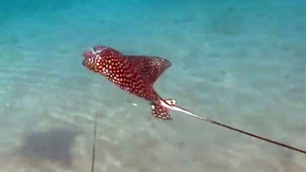 צולל הציל עטלף ים שנתפס בקרס דייגים