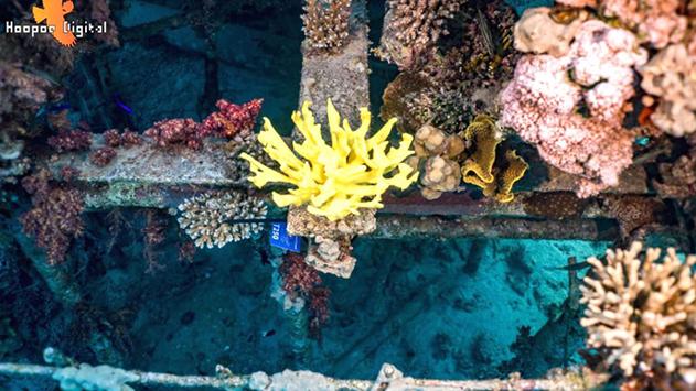 מחקר חדש בוחן הצבת אלמוגים מודפסים בתלת ממד במפרץ אילת
