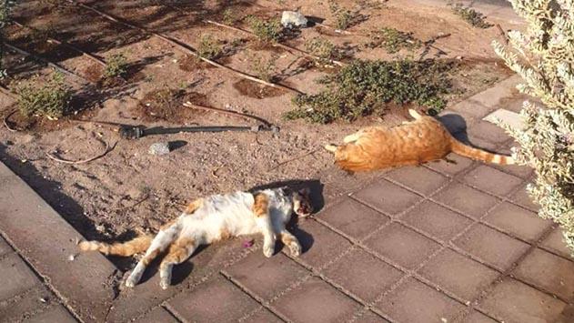 תשע גופות חתולים התגלו בשחמון, חשש להרעלה מכוונת