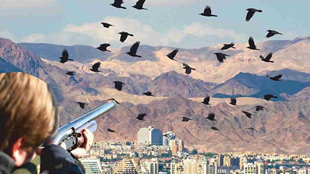 בג''ץ מחק את עתירת עיריית אילת בנושא העורב ההודי