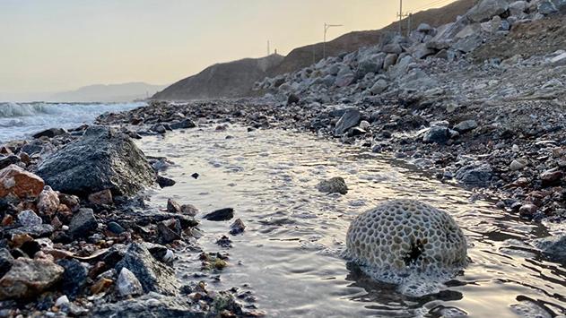 אחוז האלמוגים החיים בשונית אילת ירד באופן דרמטי
