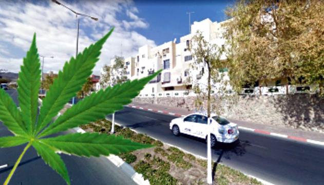 הדשא של השכן מרחוב ארגמן: גידל  מאות שתילי מריחואנה בבית אמו באילת