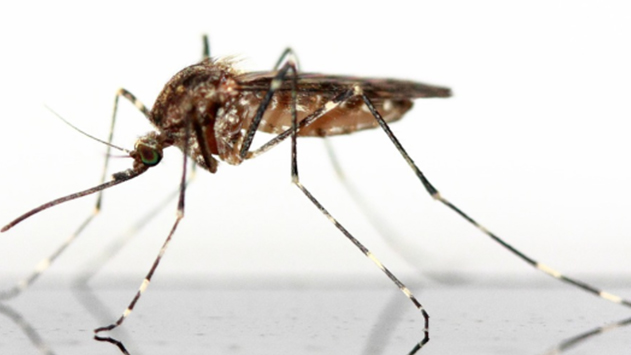 מלכודת ליתוש הנמר האסייתי