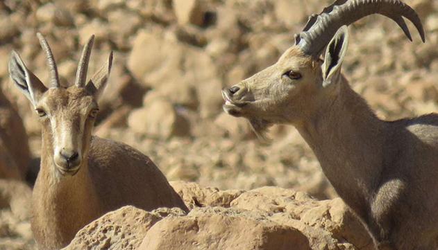 אוכלוסיית היעלים  בערבה שומרת  על יציבות