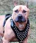 הבלשים ירו למוות בכלב אמסטף שתקף אותם