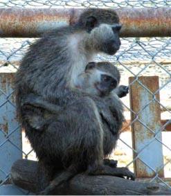 למכירה בעקבה: קופים ואריות