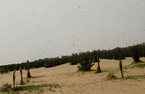 להקת ארבה תקפה בערבה הדרומית