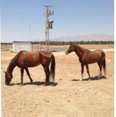 בעל החווה מגיב לטענות: ''הסוסים לא הורעבו''