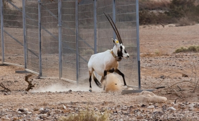 וידיאו: ראמות לבנות שוחררו לטבע בערבה