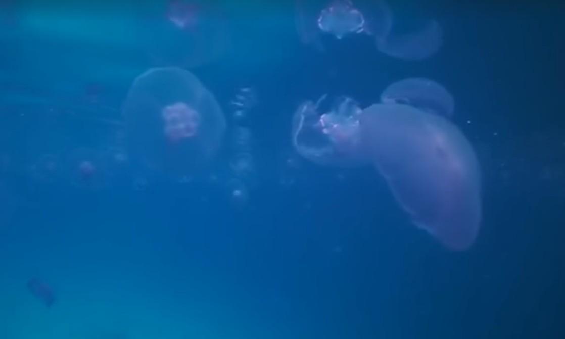 המדוזות הקדימו השנה להגיע למפרץ אילת