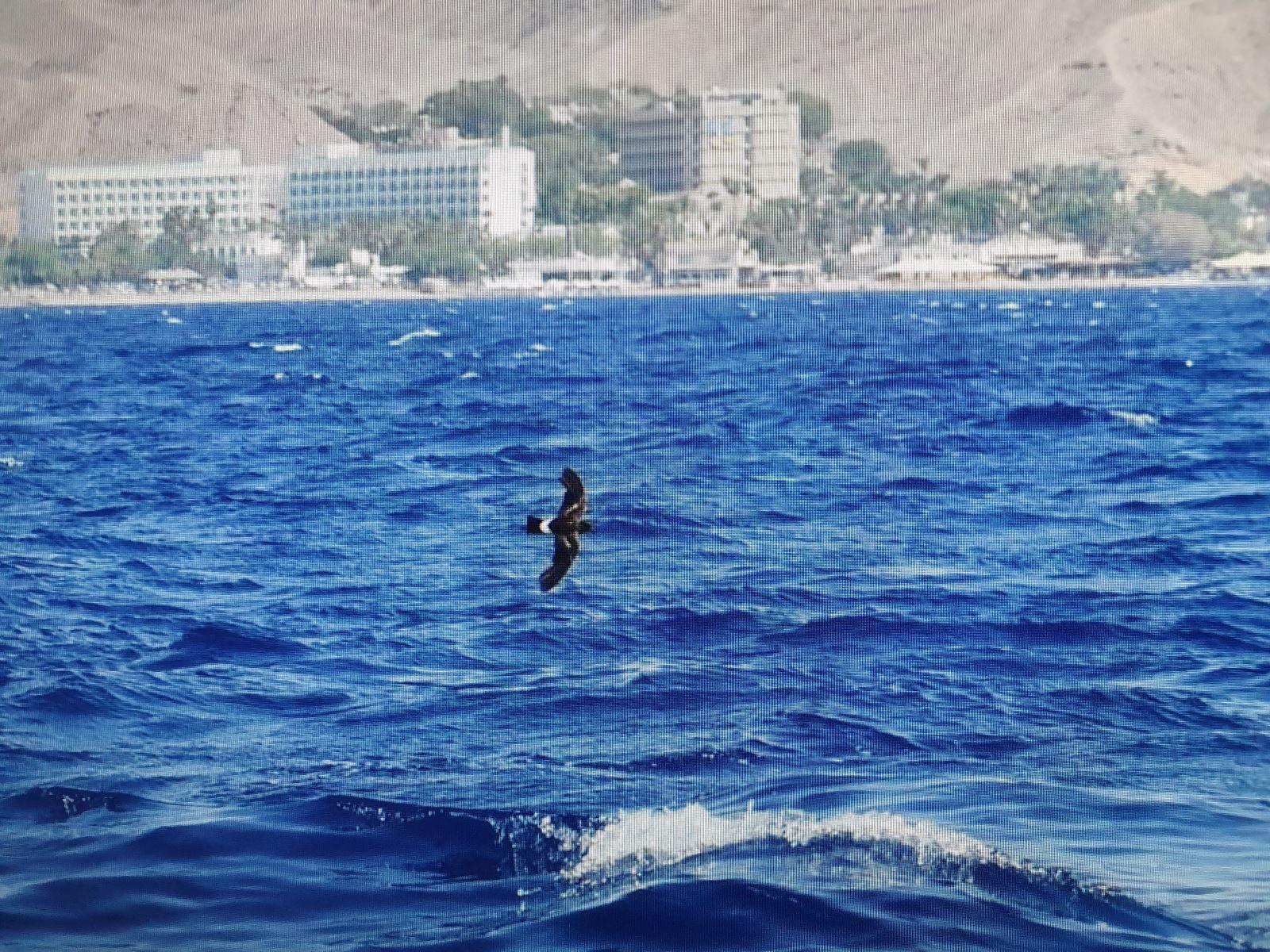 נצפה באילת – עוף ים נדיר