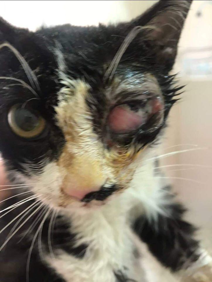 עדכון: החתולה מההתעללות לא מתה - מצבה קריטי