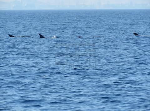 תיעוד נדיר ומרהיב של להקת דולפינים מסוג גרמפוס