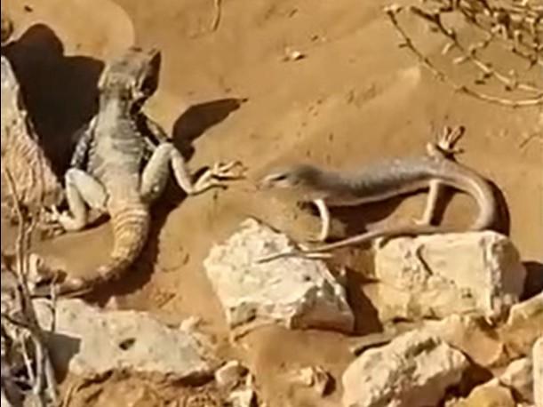 תיעוד נדיר ומיוחד: סרטון של שתיים מחיות הבר הנדירות באזור אילת, אוכלות ביחד, אחרי הגשם
