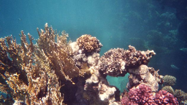 חדשות לא מעודדות: ירידהבכיסוי האלמוגים במפרץ אילת