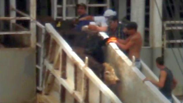 חקירת משטרה: עובדי אונייה דקרו עגל ושברו את זנבו