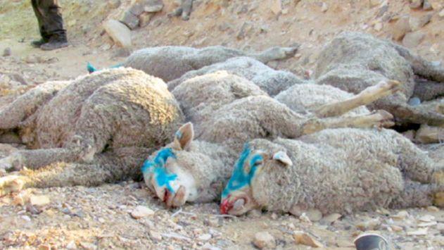 הנהג נפצע – עשרות כבשים נהרגו והורדמו