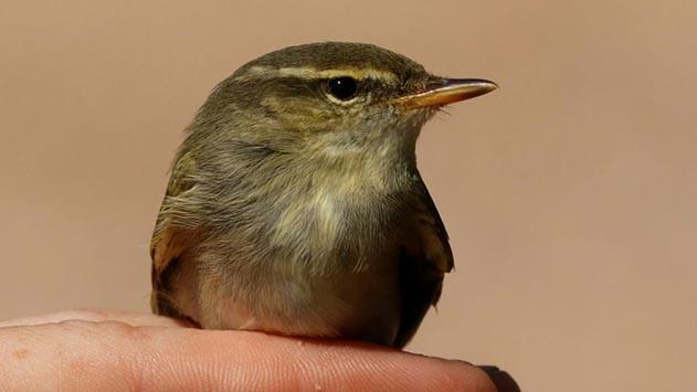 לראשונה בישראל - ציפור מסוג עלווית צפונית תועדה בפארק הצפרות באילת