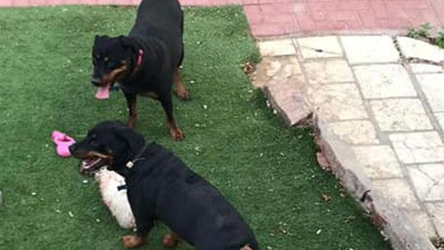 המשטרה עצרה לחקירה תושב אילת החשוד כבעלים של כלבי הרוטוויילר הרצחניים