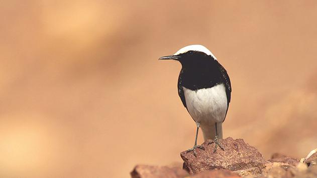 ירידה משמעותית בכמות  הציפורים בנגב ובערבה