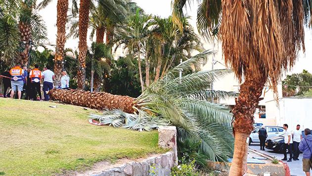 עץ דקל קרס בחוף קיסוסקי