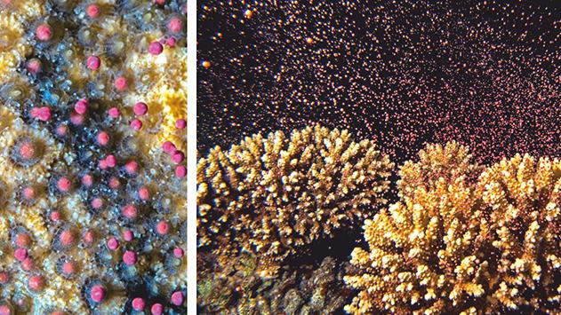 משהו השתבש במערכת הרבייה של האלמוגים והחוקרים מודאגים מאוד