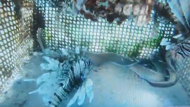 צפו: דגים מוגנים חולצו  ממלכודת במפרץ אילת