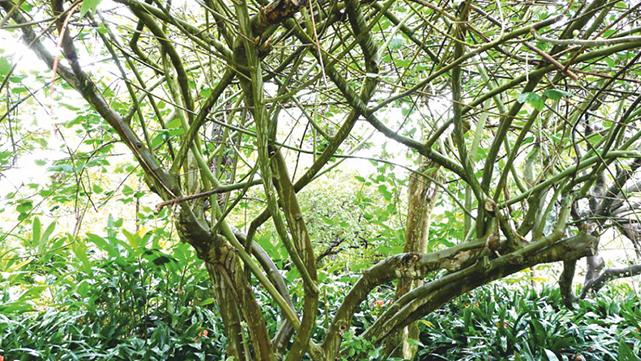 העץ הנדיר מאילת נשתל בגינת הכנסת