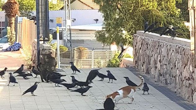 אקולוג מפרץ אילת בעבר מזהיר: ''האכלת חתולים ברחובות העיר מגבירה את בעיית העורבים''
