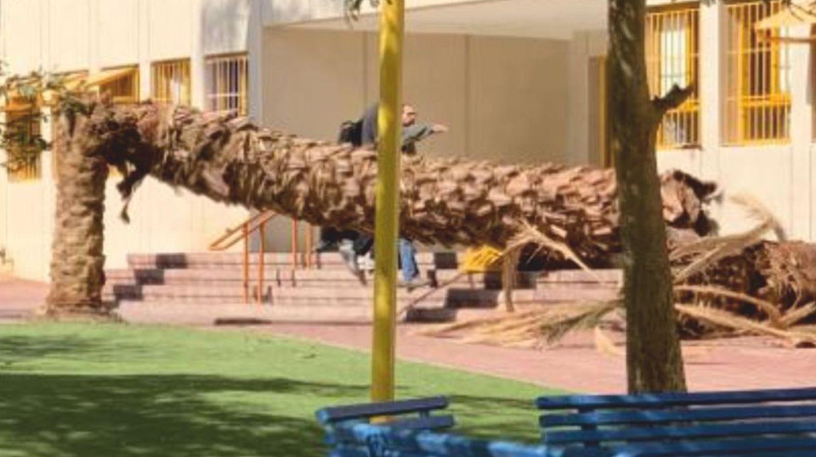 עץ דקל קרס בחצר בית הספר בגין - בנס נמנע אסון