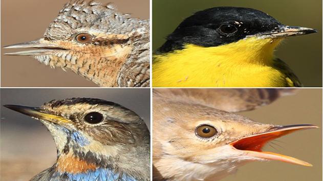 הטבע לא עוצר: גל עצום של  נדידת ציפורי שיר באילת ובערבה