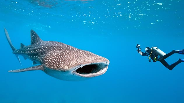 פעם חשבו שכריש לוויתן  במפרץ אילת זה אירוע נדיר –  מסתבר שכלל לא