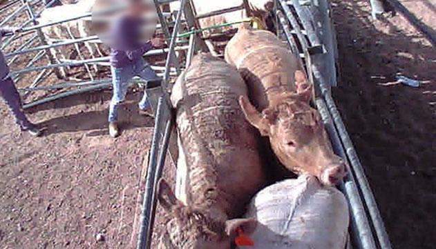 נפגע מבעיטת פרה בקרנטינת קיבוץ אילות ויפוצה במאות אלפי שקלים