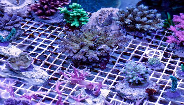השתלת אלמוג: כך האלמוגים ישרדו את שינויי האקלים