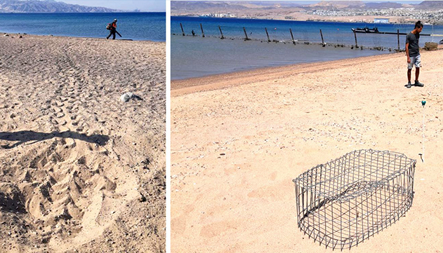 לראשונה קן של צבת ים חומה באילת